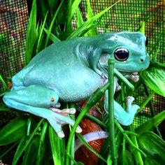 Female whites tree frog enjoying the rain
