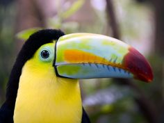 """Toucan Few animals scream """"tropical paradise"""" as loudly as the toucan. The bird above was photographed at the La Paz Waterfall, north of San José on Highway 126. Photo: Costa Rica Tourism Board"""
