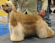 Google Image Result for http://www.dogsindepth.com/sporting_dog_breeds/images/american_cocker_spaniel_h02.jpg