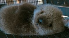 Orphan sea otter - Super Cute Animals: Preview - BBC One - YouTube