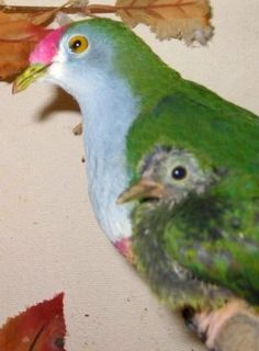 Ptilinopus pulchellus.