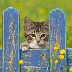 CAT 03 KH0600 01 - White And Tabby Kitten Looking Through Blue ...