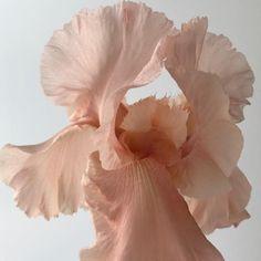 Pink aesthetic pink think pink Pink Aesthetic, Pretty Flowers, Flower Art, Decoration, Flower Power, Planting Flowers, Iris, Art Photography, Floral Design
