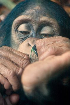 Chimpanzee dreams of flying?