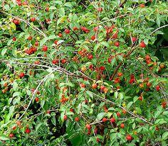 ~SURINAM CHERRY~ EXOTIC Fruit Tree Eugenia uniflora LIVE PLANT SEEDLING