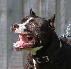 insane pitbulls   The Ultimate Pit Bull Forum • View topic - WSP K9 X-Dog