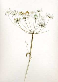 Queen Anne's Lace Giant Hogweed Painting by VerbruggeWatercolor, $18.00