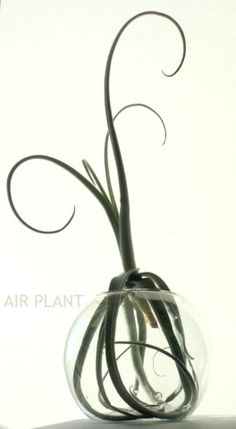 Tillandsia (airplant). Interesting mounting.