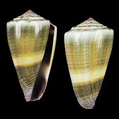 Conus sugillatus by Cebu-Man, via Flickr