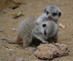 Awww. Baby meerkats