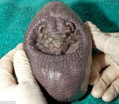 No one knows why this hedgehog is hairless but he is and it doesn't appear to be caused by disease.