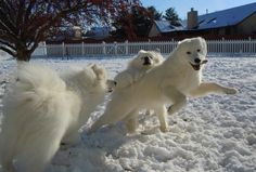 The traits developed by Samoyeds and other Northern breeds to allow them to survive in cold climates also make them uniquely able to adapt and thrive in a range of climates.