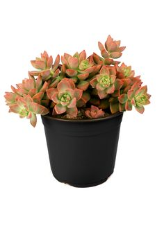 Graptosedum 'California Sunset' forms rosettes with lanceolate bluish green leaves that blush pinkish-orange in strong light. Possibly a hybrid of Sedum adolphii. White star-shaped flowers during spring and summer. Cacti And Succulents, Planting Succulents, Cactus Plants, Air Plants, Succulent Terrarium, Dish Garden, Garden Soil, Cacti Garden, Cactus Flower