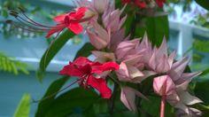 พวงนาค (Clerodendrum splendens x C. thomsoniae)