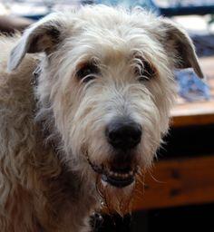 IRISH WOLFHOUND - This looks like my Andy!