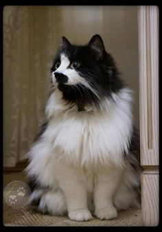 """I don't know that I've ever seen a long hair tuxedo before. * * """" WELL, NOW YOU HAZ. IT'S A         BEE-OTCH KEEPIN' MY FUR IN         ORDER,"""""""