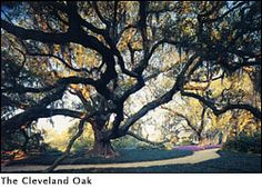 The Cleveland Oak in Rip Van Winkle Gardens; New Iberia, Louisiana