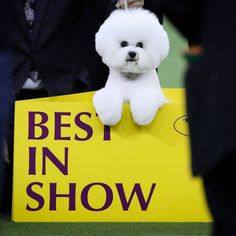 Flynn, the Bichon Frise, won Best in Show at the 2018 Westminster Dog Show @wkcdogshow