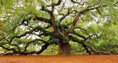 """""""Angel Oak"""" in South Carolina USA, about 500 yeard old. its shade covers 1600 square meters and the longest branch is 57 meter."""