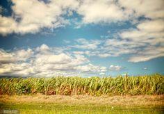 Sugar cane fields in Maui