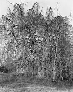 Weeping Willow, Woodlawn Cemetery, Bronx 2012.    Mitch Epstein