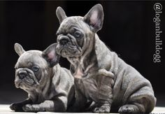 @loganbulldogg  www.frenchbluebulldog.com , french , frenchie , puppy , bulldog , bull