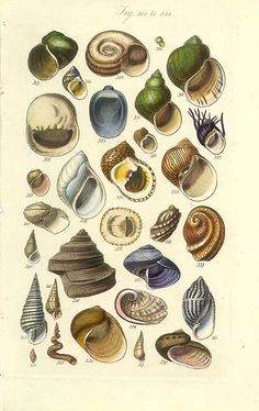 Antique print picture of Colorful shells including Abalone shells