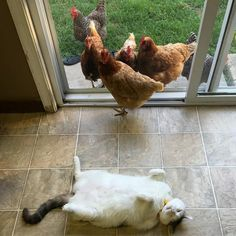 chat poule