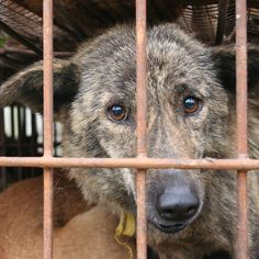 Yulin Dog Meat Festival//Take Action  Make your voice heard today by signing Animals Asia's petition.Scroll down sign and share,thanks.