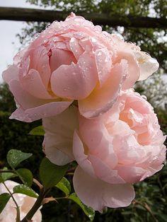 'Gentle Hermione' | Shrub. English Rose Collection. David C. H. Austin, 2005 | Flickr - © Osakana Feelingood®