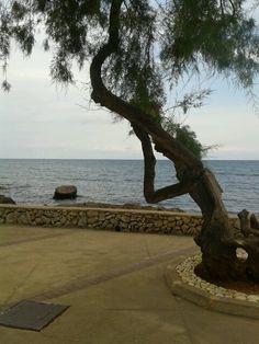 strange tree in Cala Millor Majorca