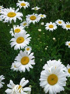 Daisies, one of my favorite flowers