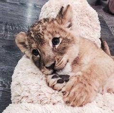 ♀♅☽ cute little lion #animal