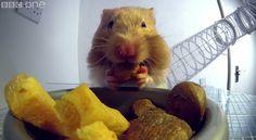 http://afv.com/see-like-inside-hamsters-cheeks/