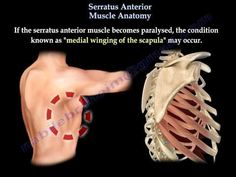 Serratus Anterior Muscle Anatomy - Everything You Need To Know - Dr. Nabil Ebraheim - YouTube