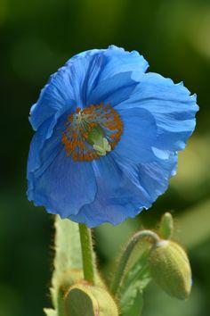 Himalayan blue poppies by joan hoffman flowers breathtaking explore asphotography46 photos on flickr asphotography46 has uploaded 492 photos to flickr poppy flowerspoppies mightylinksfo