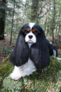 """I pride myself on the look of my lovely ears!"" #dogs #pets #CavalierKingCharlesSpaniels"