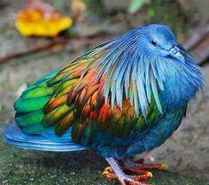 Gorgeous Nicobar Pigeon | Express Photos