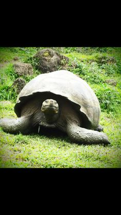 Now found only in The Galapagos, the Giant Tortoise
