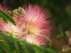 Mimosa Blossom photo