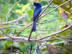 This species has a beautiful crest of feathers on its head to balance out its racket-like tail feathers.