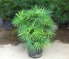 Rhapis Multifida – Chinese Palm