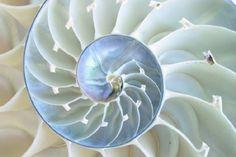 Nautilus Shell: Fibonacci Spiral #Nature #Mathematics #Nautilus