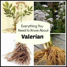 Planting, growing, harvesting, and storing Valerian