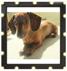 Clifford's a Miniature Dachshund that was born to be a star! He loves posing for photos, & has a one-of-a-kind personality!