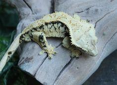 Cheesecake, a pretty crested gecko in Alabama.