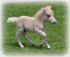 A cute little baby as sweet as peaches and cream! Photo by: Miniature Horse Farms Directory