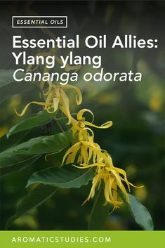 Ylang ylang (pronounced ē-ˌläŋ-ˈē-ˌläŋ) essential oil is distilled from the flowers of the fast-growing evergreen tree, Cananga odorata f. genuine, of the custard apple family (Annonaceae). Originating in the Indo-Malayan region, the French brought the tree to the Reunion Islands, Comoros, and Madagascar where it is mainly grown and distilled for its essential oil. TheREAD MORE