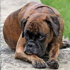 Boxers have the most adorable sad eyes!