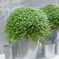 Buy mind your own business Soleirolia soleirolii - A trailing mound of tiny rounded leaves.: pot - tall: Delivery by Crocus Succulent Pots, Planting Succulents, Planting Flowers, Balcony Plants, Garden Plants, Minding Your Own Business, Best Indoor Plants, Mind You, Office Plants